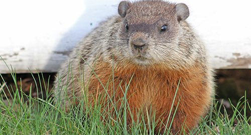 Temiskaming, Kirkland Lake, Timmins, Haileybury and Surrounding Area - News - Groundhog Feasting